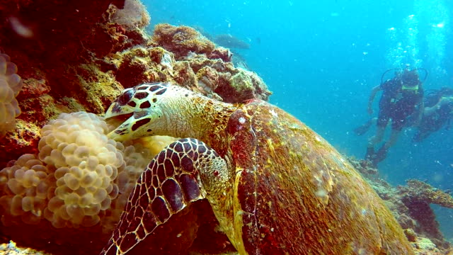 Endangered Species Hawksbill Sea Turtle (Eretmochelys imbricate) and Scuba Divers.  Listed as Critically Endangered (facing an extremely high risk of extinction in the wild in the immediate future). These animals are extremely rare. video