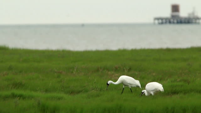 stockvideo's en b-roll-footage met bedreigde wilde kink in de kraan paar jacht aransas nationale wildlife refuge olietank texas - broek