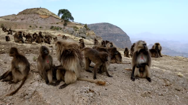 endemic gelada baboon in simien mountain, ethiopia wildlife - primate video stock e b–roll