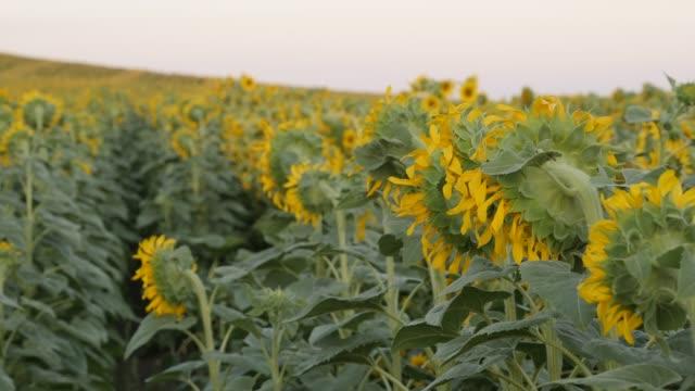 Endless field of Helianthus plant 4K video