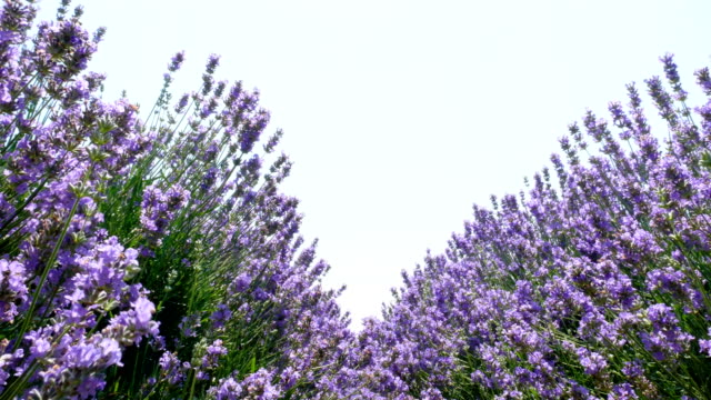 Endless lines of blooming lavender video