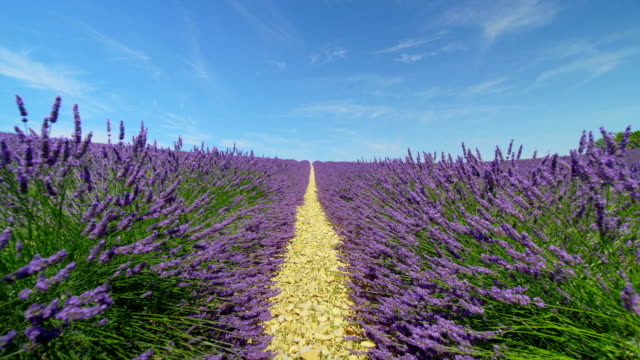 Endless lines of purple lavender blooming in sunny spring video