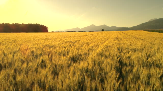 aerial: endless summer wheat field on tranquil sunny morning in scenic nature - orzo video stock e b–roll