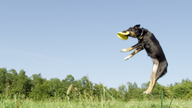 SLOW MOTION: Energetic border collie jumps high in the air and catches frisbee. SLOW MOTION, LOW ANGLE: Energetic border collie jumps high in the air and catches a yellow frisbee. Playful puppy with beautiful black coat catches a flying frisbee in the middle of sunny grassland. catching stock videos & royalty-free footage