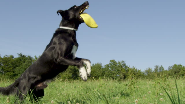 slow motion: energetic border collie playing outside catches a yellow frisbee. - border collie video stock e b–roll