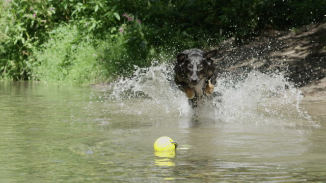 SLOW MOTION: Energetic dog splashing in the water chasing after his toy ball video