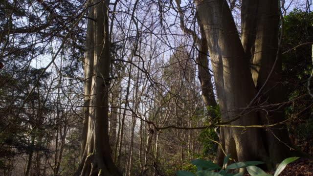 englische landschaft in der nähe von london. zeitigen frühjahr buchenholz. kopieren sie weltraum hintergrund. lichtung mit einem kleinen busch - baumgruppe stock-videos und b-roll-filmmaterial