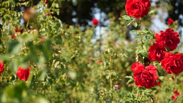 English roses garden. Rosarium Floral background. Tender flowers Blooming, honey bee collects pollen. Close-up of rosary flower bed. Flowering bush, selective focus with insects and delicate petals.