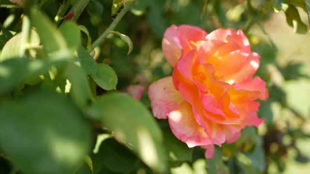 English roses garden. Rosarium Floral background. Tender flowers Blooming, honey bee collects pollen. Close-up of rosary flower bed. Flowering bush, selective focus with insects and delicate petals. English roses garden. Rosarium Floral background. Tender flowers Blooming, honey bee collects pollen. Close-up of rosary flower bed. Flowering bush, selective focus with insects and delicate petals arthropod stock videos & royalty-free footage