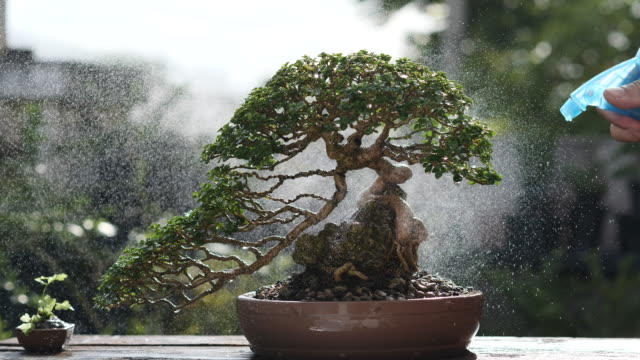 Enjoy watering small Bonsai Tree while stay home keep social distancing for prevent coronavirus (COVID-19). Stay Home and Gardening Concept.