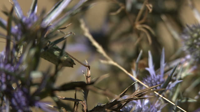 ephippiger stridulation - grashüpfer stock-videos und b-roll-filmmaterial
