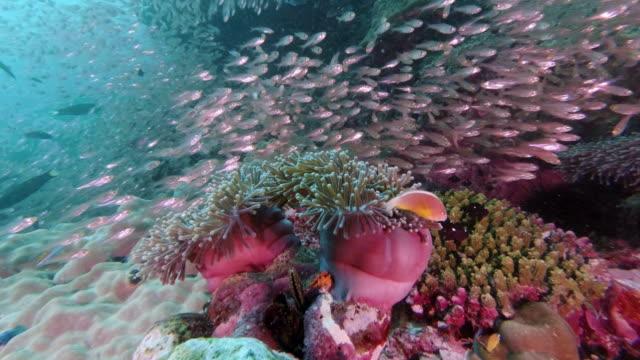 活気に満ちた水中サンゴ礁生態系上の壮大な自然ピエロの魚 - ピンク色点の映像素材/bロール