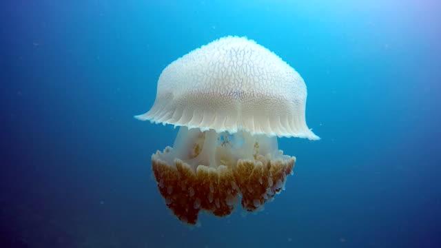 Epic Nature Underwater: Common Jellyfish (Thysanostoma thysanura). video