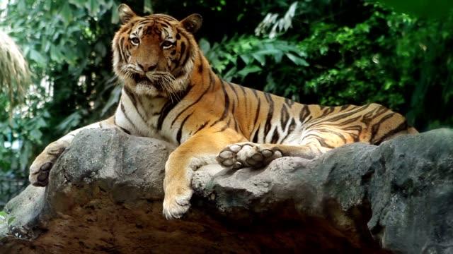 Epic Tiger video