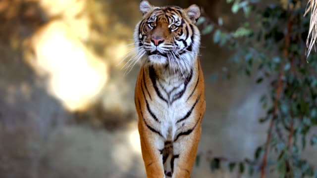 epic wild tiger walking forward and jumping video