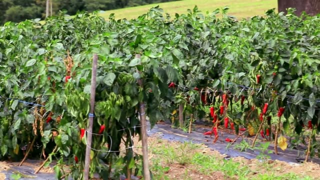 Espelette peppers at maturity.