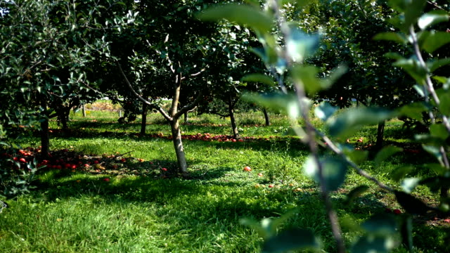 Establishing daytime shot of apple orchard on a farm