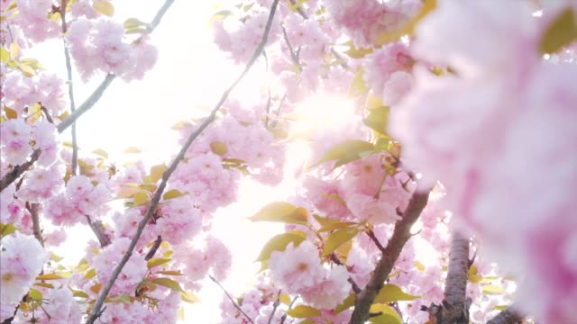 Ethereal moments in nature. Springtime has arrived. Pink cherry blossoms surrounded by a gentle sunlight. cherry tree stock videos & royalty-free footage