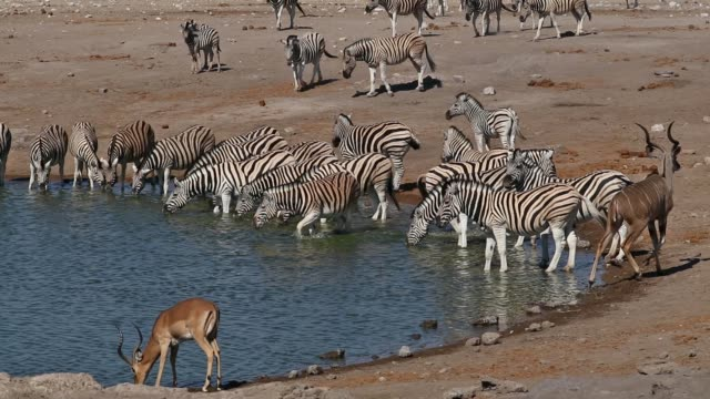 vidéos et rushes de etosha waterhole - namibie - plan d'eau