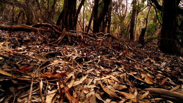 eucalyptus forest - eucalyptus leaves bildbanksvideor och videomaterial från bakom kulisserna