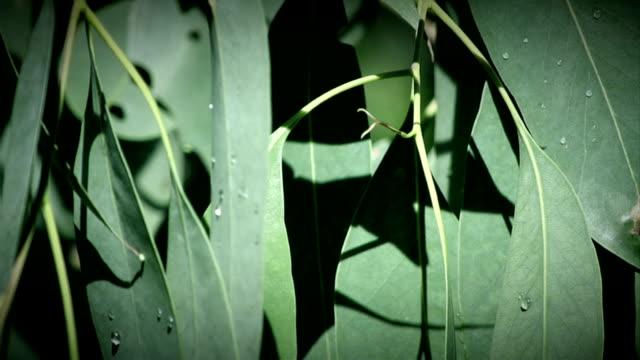 eucalyptus leaves australia hd - eucalyptus leaves bildbanksvideor och videomaterial från bakom kulisserna