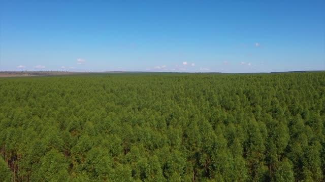 eukalyptus plantage i brasilien - jordbruk för cellulosapappersindustrin. flygfoto över den gröna eukalyptusskogen. drone pass - eucalyptus leaves bildbanksvideor och videomaterial från bakom kulisserna