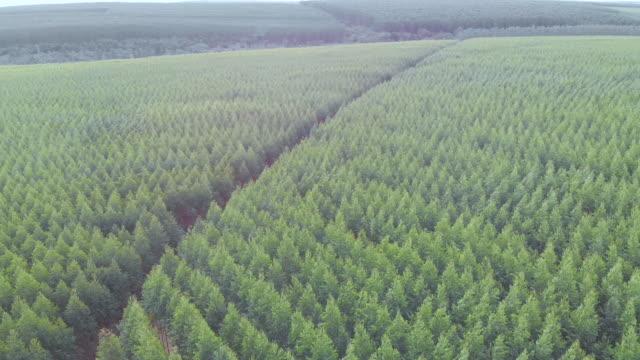 eucalyptus plantage i brasilien. cellulosapappersjordbruk. birdseye drone view. ovanifrån. eucalyptus grön skog flygbild. 4k - eucalyptus leaves bildbanksvideor och videomaterial från bakom kulisserna