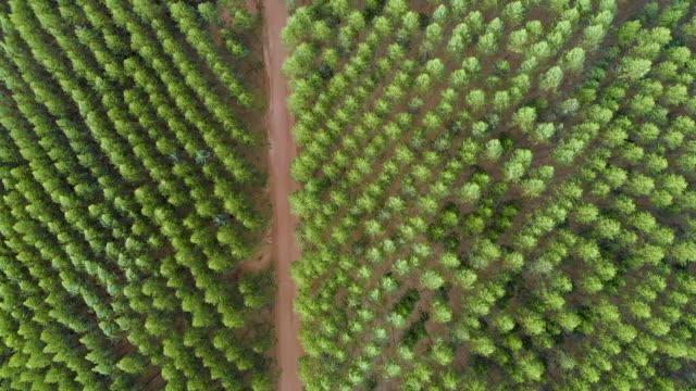 eucalyptus plantage i brasilien. cellulosapappersjordbruk. birdseye drone view. eucalyptus grön skog flygbild. 4k - eucalyptus leaves bildbanksvideor och videomaterial från bakom kulisserna