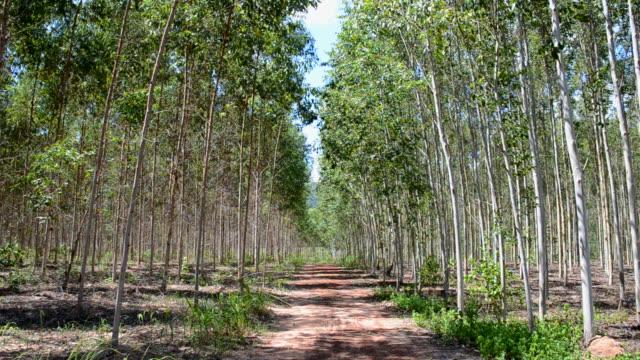 eucalyptus plantation - eucalyptus leaves bildbanksvideor och videomaterial från bakom kulisserna