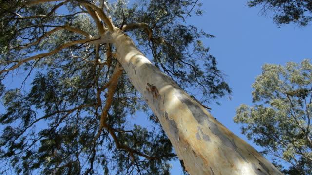 eucalyptus träd en solig dag - eucalyptus leaves bildbanksvideor och videomaterial från bakom kulisserna