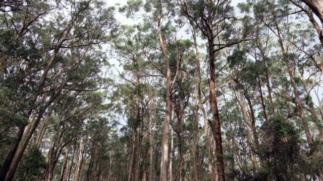 eukalyptusträd i australien. - eucalyptus leaves bildbanksvideor och videomaterial från bakom kulisserna