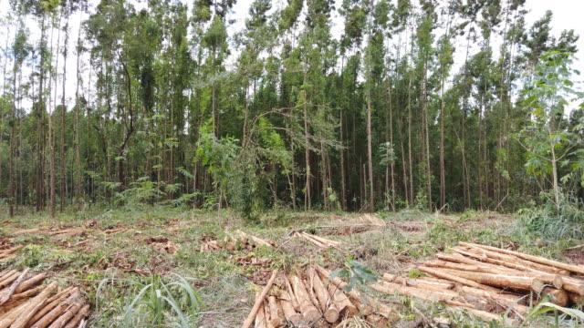 eukalyptus träd stockar på en gård. - eucalyptus leaves bildbanksvideor och videomaterial från bakom kulisserna