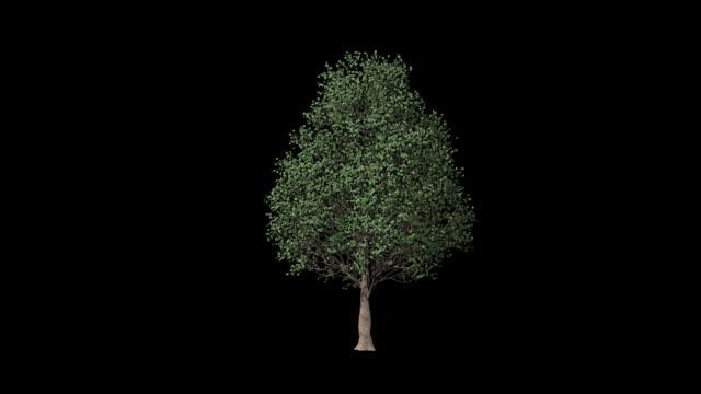 vídeos de stock, filmes e b-roll de eucalipto árvore timelapse crescente, luma matte anexado - árvore