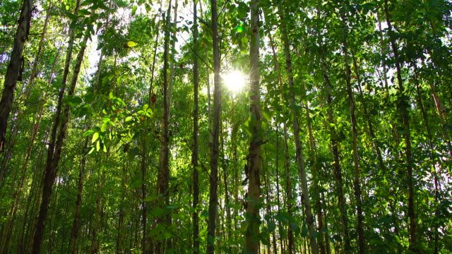 eukalyptusträd - eucalyptus leaves bildbanksvideor och videomaterial från bakom kulisserna