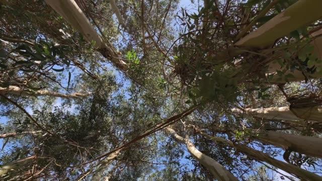 eukalyptusträd till himlen utsikten underifrån rottation kamera - eucalyptus leaves bildbanksvideor och videomaterial från bakom kulisserna