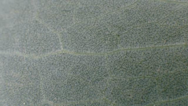vidéos et rushes de eucalyptus veines feuille texture close-up macro fond - nervure