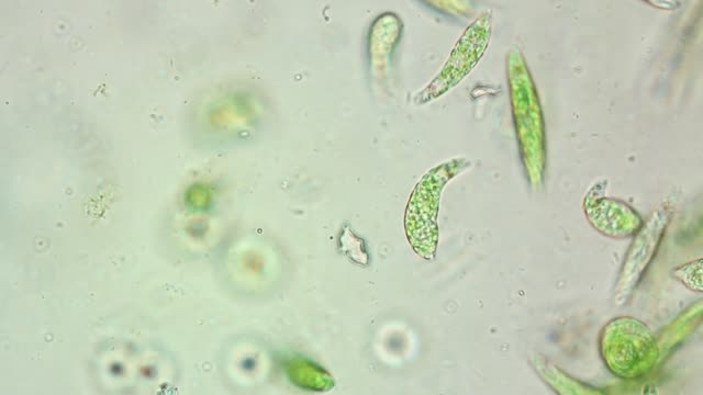 euglena is a genus of single-celled flagellate eukaryotes under microscopic view for education. - bio food video stock e b–roll
