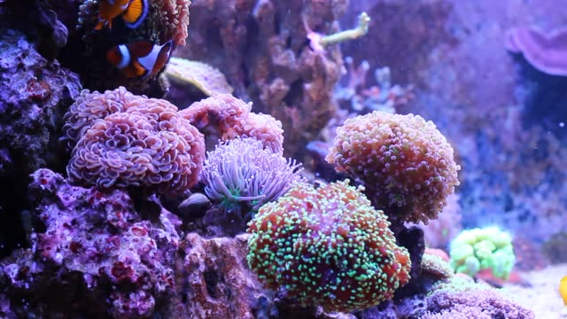 Euphyllia coral are one of the most natural decoration in the Reef aquariums One of the most natural decoration in the Reef aquariums larva stock videos & royalty-free footage