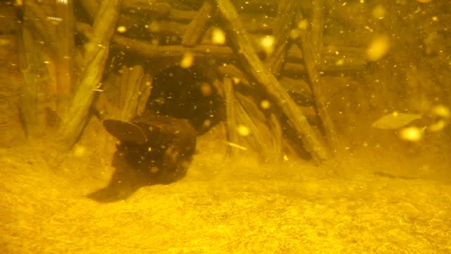 avrasya kunduz (castor fiber) veya avrupa kunduz, rusya - kemirgen stok videoları ve detay görüntü çekimi