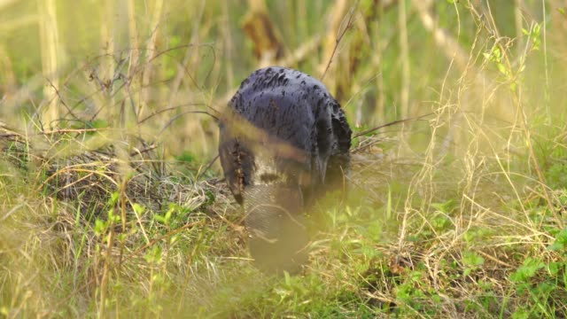 Eurasian beaver (Castor fiber) Eurasian beaver or European beaver (Castor fiber), captured in Belarus. tail stock videos & royalty-free footage