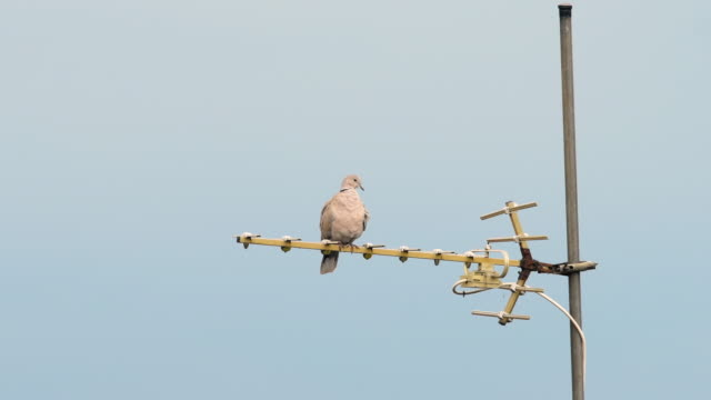 a eurasian collared dove sitting on an antenna - antenna parte del corpo animale video stock e b–roll