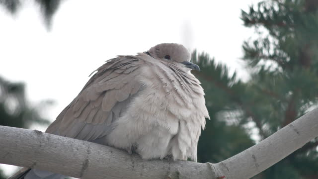 Eurasian collared dove Streptopelia decaocto the bird is sitting on outdoors a branch - vídeo