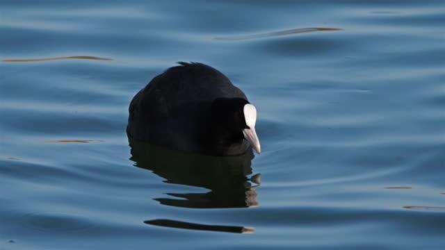 stockvideo's en b-roll-footage met euraziatische meerkoet ook wel bekend als de gewone meerkoet of australische meerkoet - video's van beauty