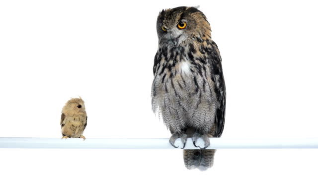Eurasian eagle owl and Indian scops perched video