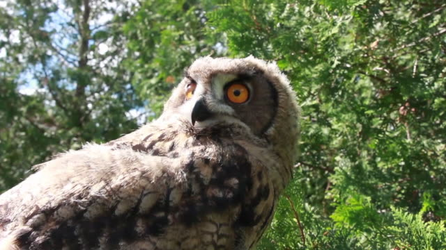 Eurasian Eagle owl- low angle video