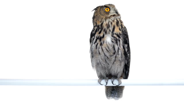 stockvideo's en b-roll-footage met eurasian eagle owl perched and looking around - uil