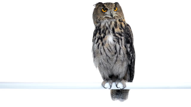 Eurasian eagle owl perched and looking around video