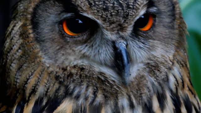 Eurasian Eagle Owl Close up shot of Eurasian Eagle Owl environmental consciousness stock videos & royalty-free footage