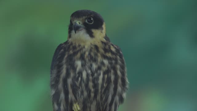 Eurasian hobby (Falco subbuteo) Eurasian hobby (Falco subbuteo) captured in Western Caucasus, Russia. falcon bird stock videos & royalty-free footage