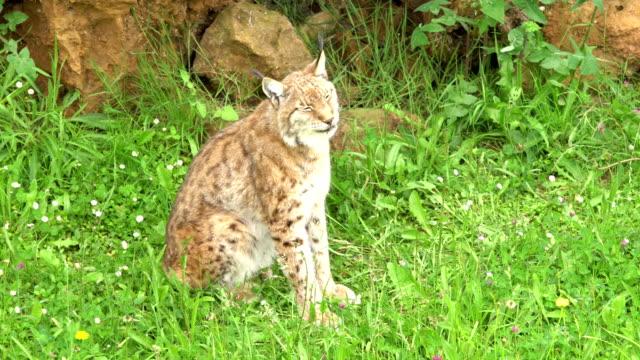 Eurasian Lynx in the grass, during sprintime